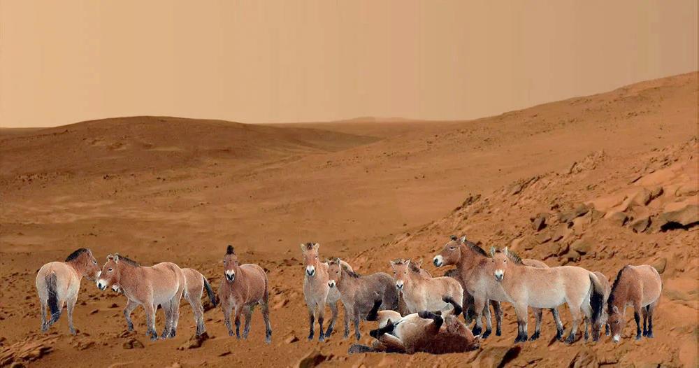 Українські коні Пржевальського «побували» на Марсі - Чорнобильський заповідник, НАСА NASA, Марс, Коні - 22 koni Przhevalskogo